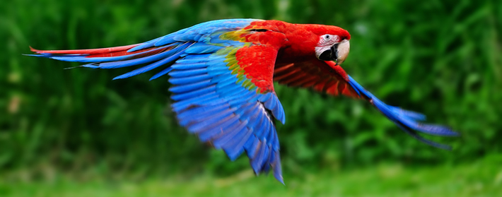 Trenches Scarlet Macaw