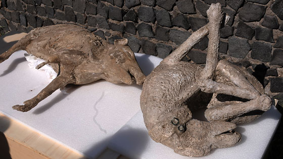 In addition to people and plants, and in particular tree roots of the species growing at the time, some casts were made of animals killed during the eruption. Here the dog's collar is still visible.