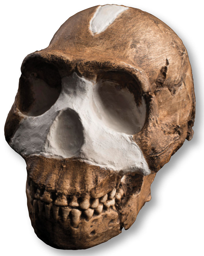 Top Ten Naledi Skull