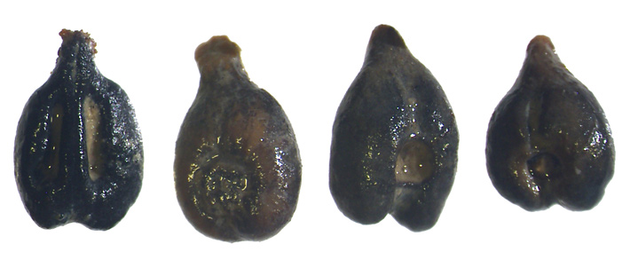 cetamura-del-chianti-grape-seeds