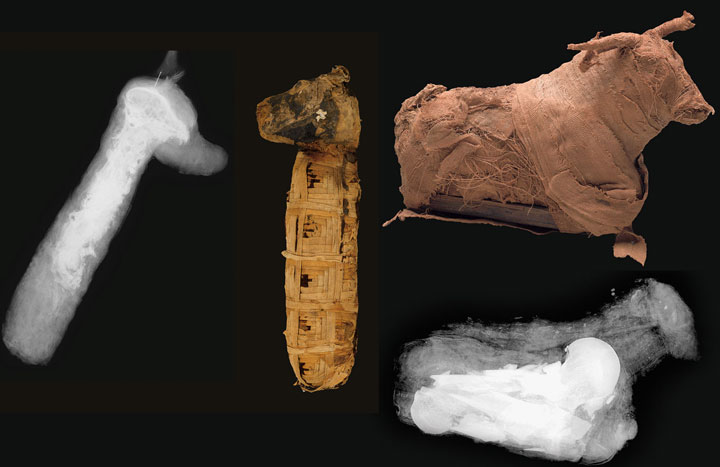 Animal Mummies Cow Bone Dogs