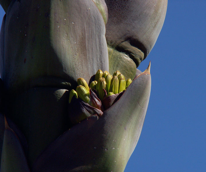 American-Chinatowns-Agave-Buds