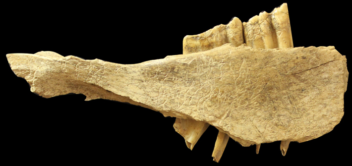 Trenches Canada Horse Mandible