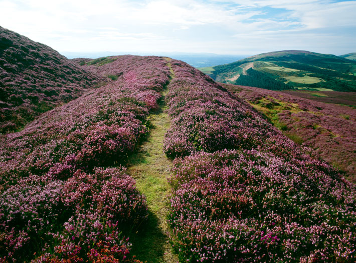 Wales Hillforts Heather
