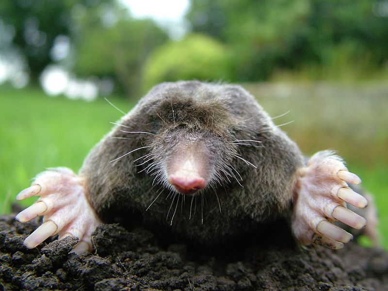 800px-Close-up of mole