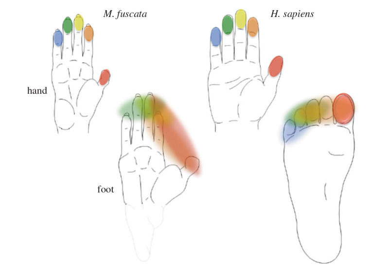 Neurobiologists Tackle Questions of Bipedialism and Tool Use Hominids_Dexterity_Bipedalism
