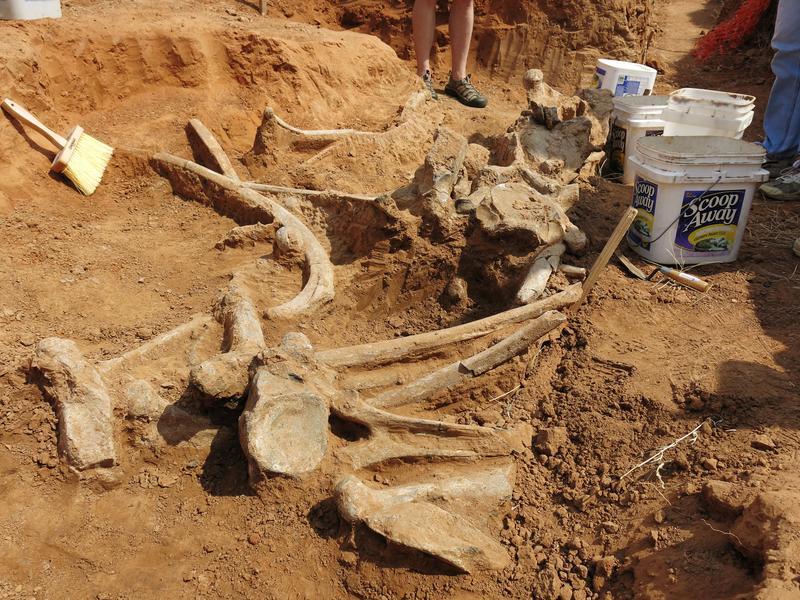 Mammoth Skeleton Unearthed in Oklahoma  Oklahoma_Mammoth_Skeleton