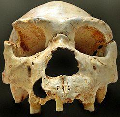 Homo heidelbergensis Preferred Island Life Homo%20heidelbergensis-Cranium-island-home
