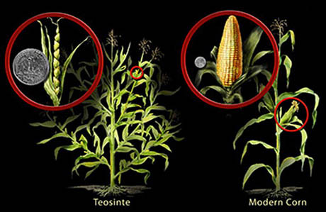 New Thoughts on Corn Domestication