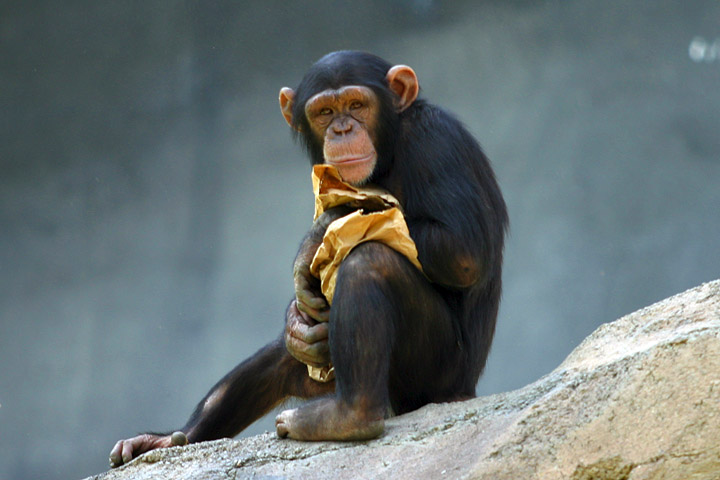 Chimpanzee-Genetic-Ancestor