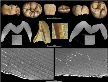 Hominid-Tooth-Study