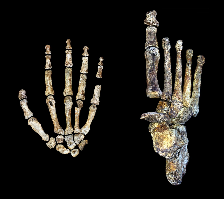 H. naledi hand foot