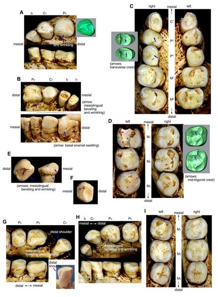"""Analyse des dents du """"Hobbit"""" de l'île de Flores Homo-floresiensis-teeth"""