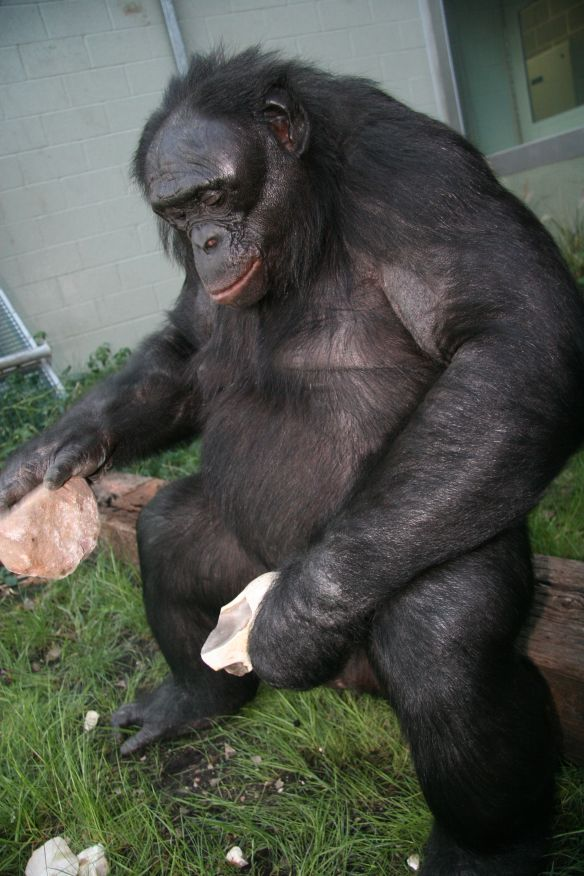 bonobo tools spears