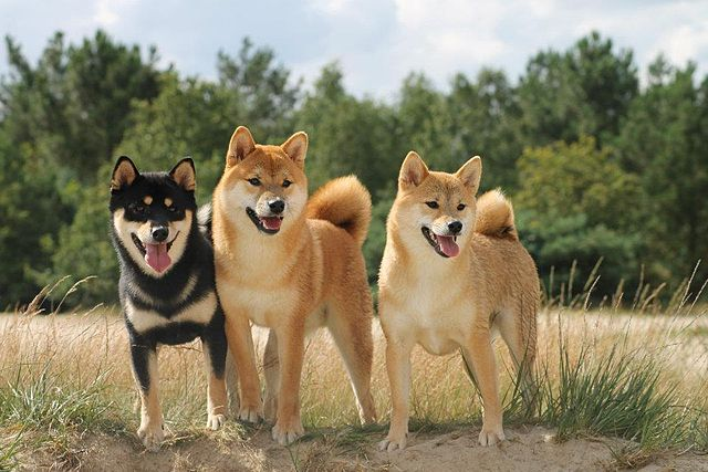Japan hunting dogs