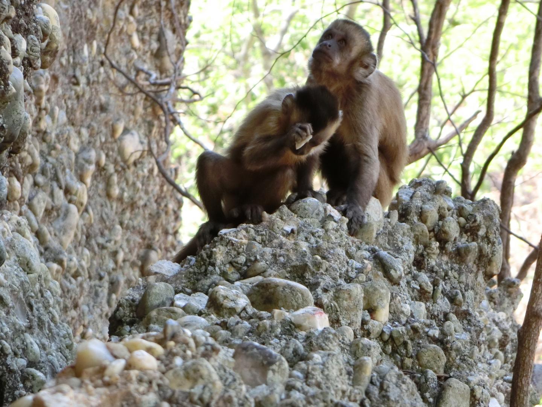 Capuchin monkey chopper
