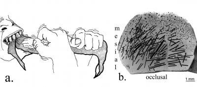 Homo habilis teeth