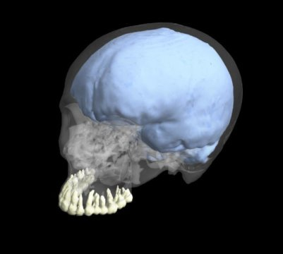 evolution brain teeth