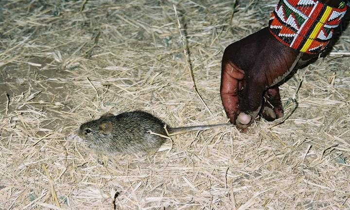 mouse human settlements
