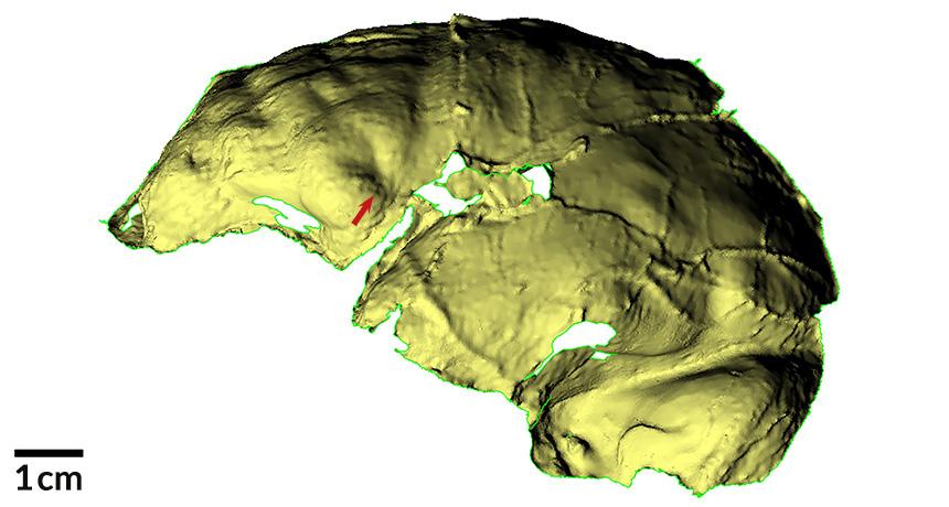 Homo naledi brain scan