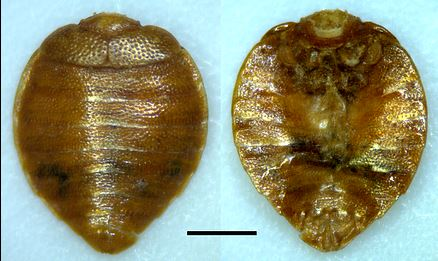 Oregon bed bugs