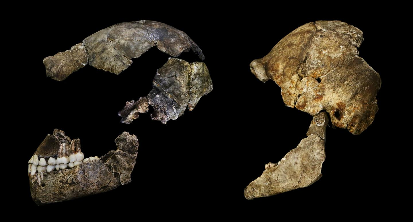 Homo naledi brains