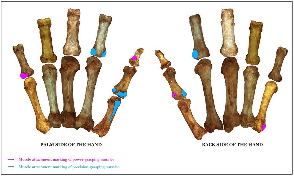 Neanderthal Finger Bone Study Examines Dexterity
