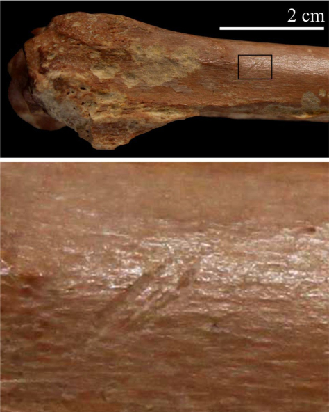 Algeria cut bone