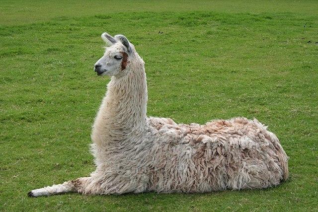 Peru alpaca domestication