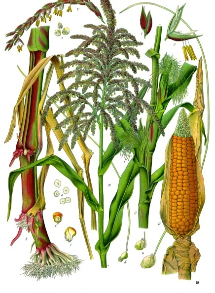 maize domestication process