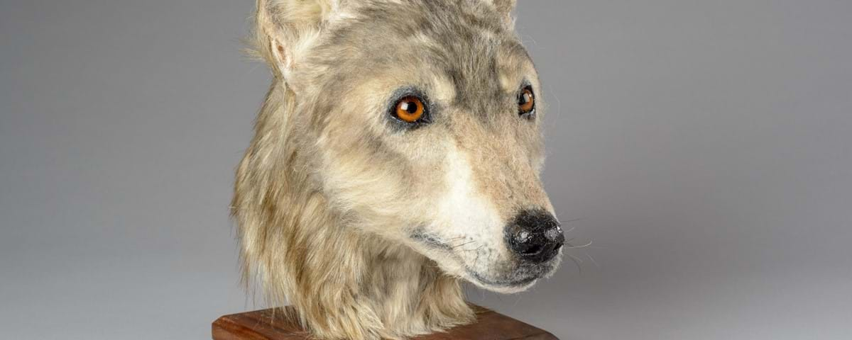 Face of Neolithic Dog Reconstructed - Archaeology Magazine