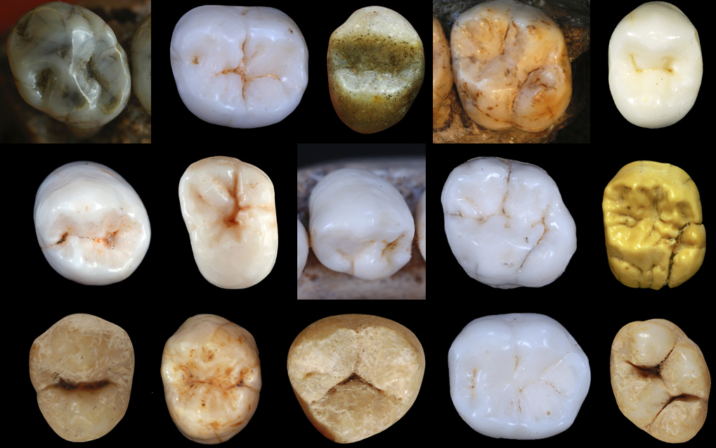 Neanderthal teeth shapes