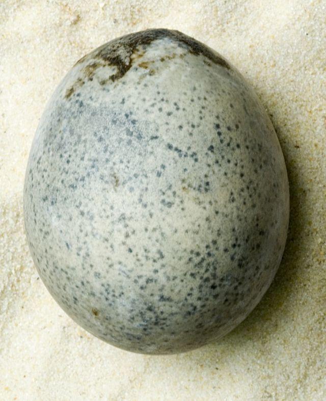 England Roman Egg