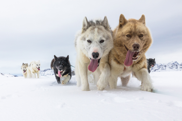 Genome of Ancient Arctic Sled Dog Analyzed
