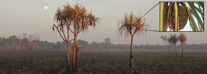 Avustralya Pandanus Ağaçları