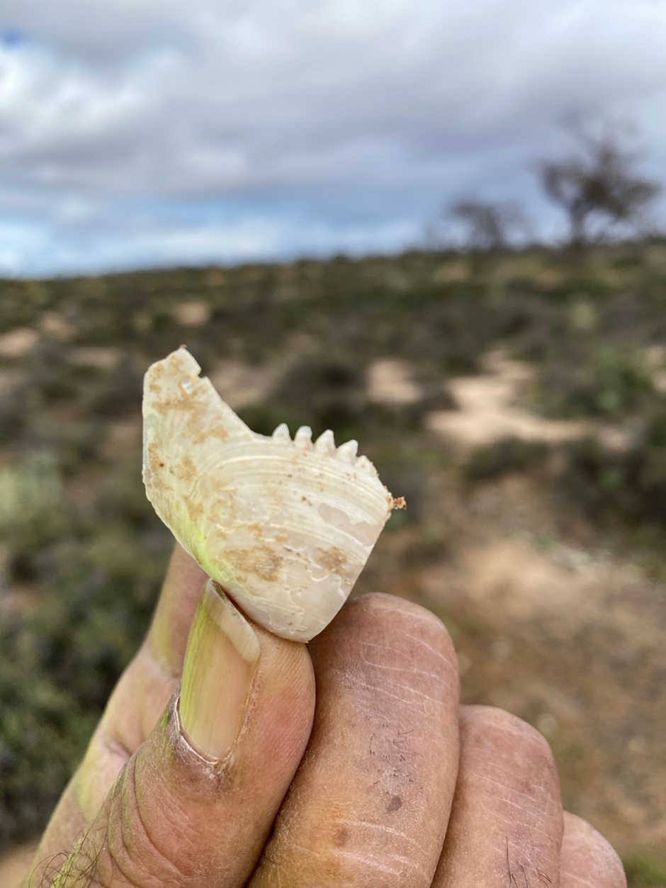Rare Shell Artifacts Discovered in South Australia - Archaeology Magazine