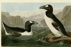Scotland-Great-Auk
