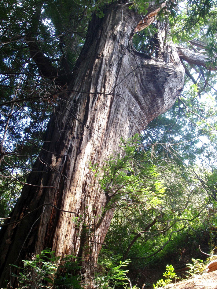 Letter From California Redwood
