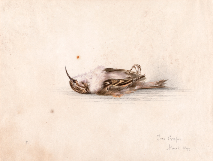 Trenches Watercolor Tree Creeper