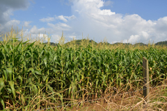 WRU Belize Maize